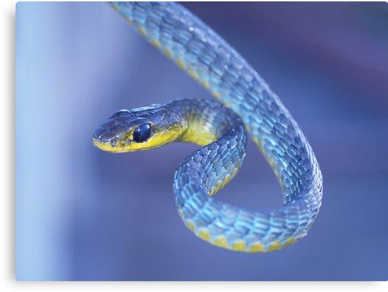 Blue - Green Tree Snake by Steve Bullock