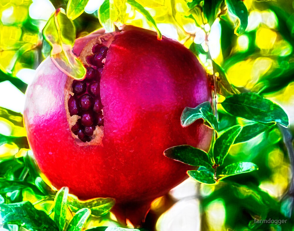 Frye's Pomegranate by farmdogger