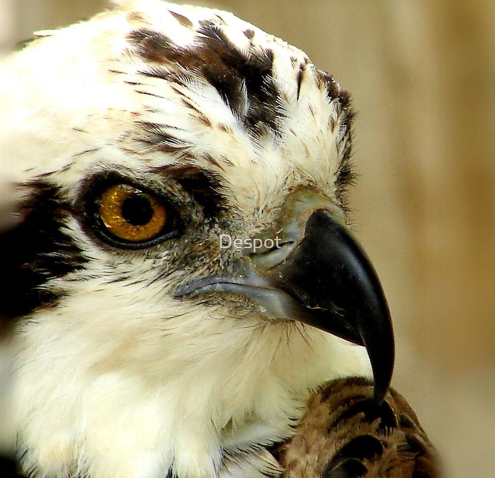 Osprey Head by Despot