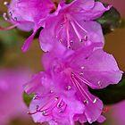 Rhododendron In Lavender by Debbie Oppermann