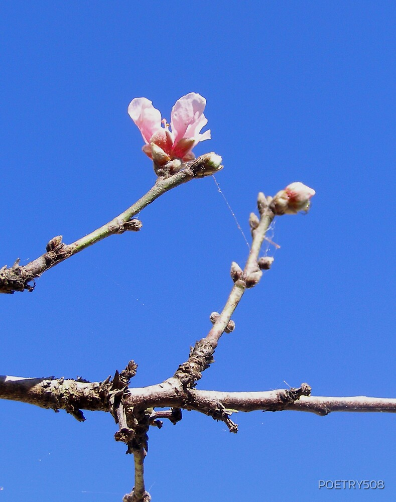 Peach Blossoming In Winter by POETRY508