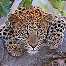 Great Eyes !! by Anthony Goldman