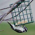 Mommy Woodpecker... by lilkarl