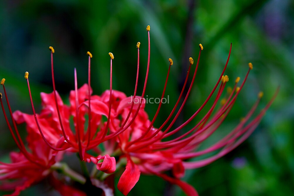 Red Spider Lily 2 by Jonicool