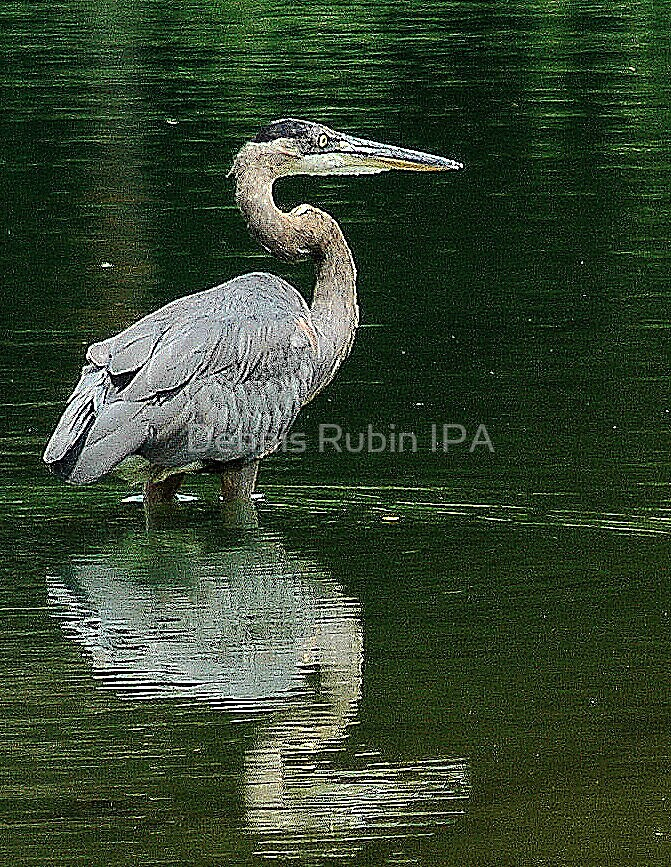 Great Blue Heron - like an etching by Dennis Rubin IPA