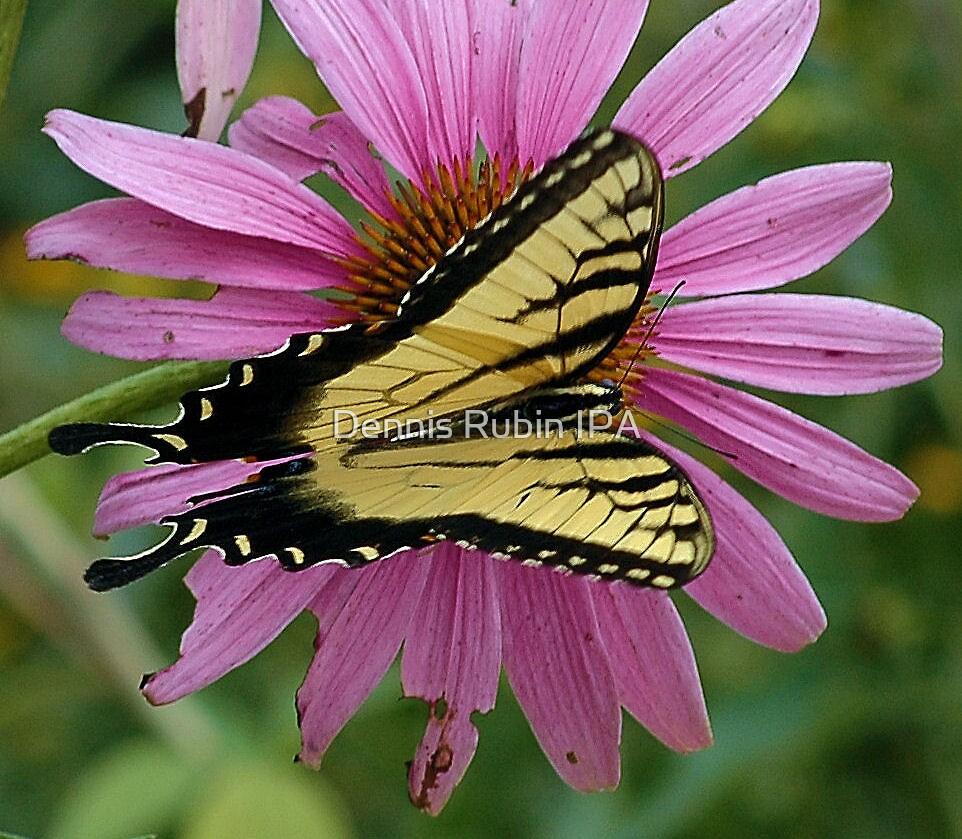Black Swallowtail in full splendor by Dennis Rubin IPA