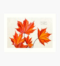 Red Maple Leaves Art Print