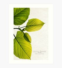 Green Basswood Leaves Art Print