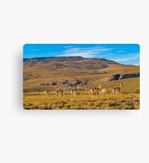Group of Vicunas at Patagonia Landscape, Argentina Canvas Print