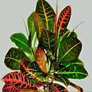 Croton. by cieloverde