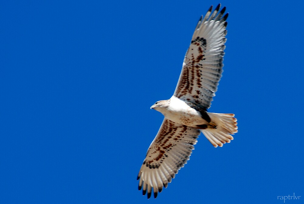 Ferruginous Hawk by raptrlvr