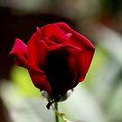 Eine einzelne rote Rose von Evita