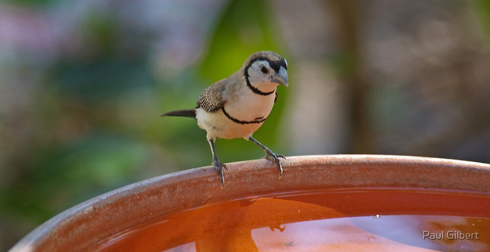 Double-Barred Finch by Paul Gilbert