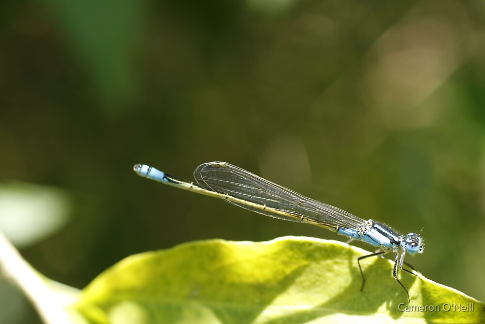 Dragonfly by Cameron O'Neill