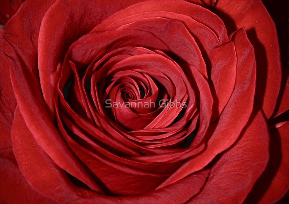 Red Rose by Savannah Gibbs