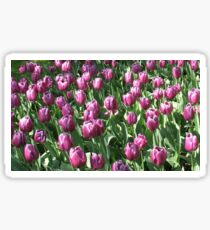 Keukenhof Gardens - Purple Tulips  Sticker