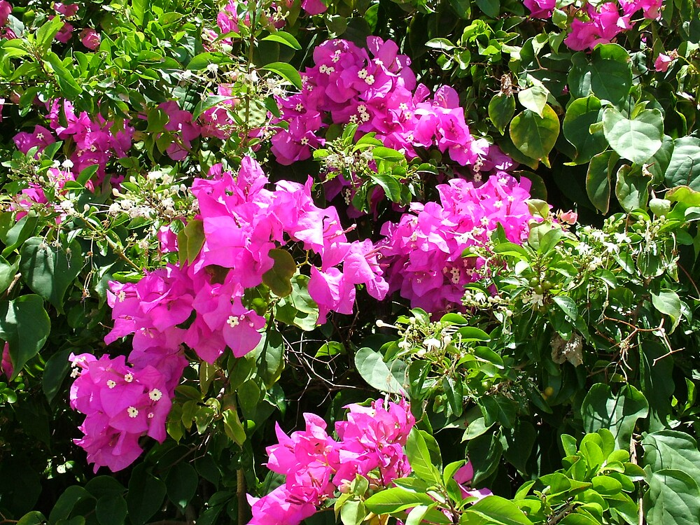 Caribbean Bougainvillea by flyingscot