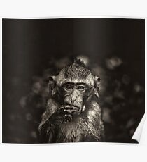 Monkey black and white Poster