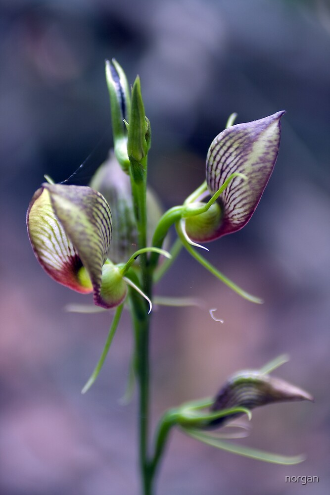 Orchid by norgan