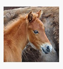 Little Rust Color Foal Photographic Print