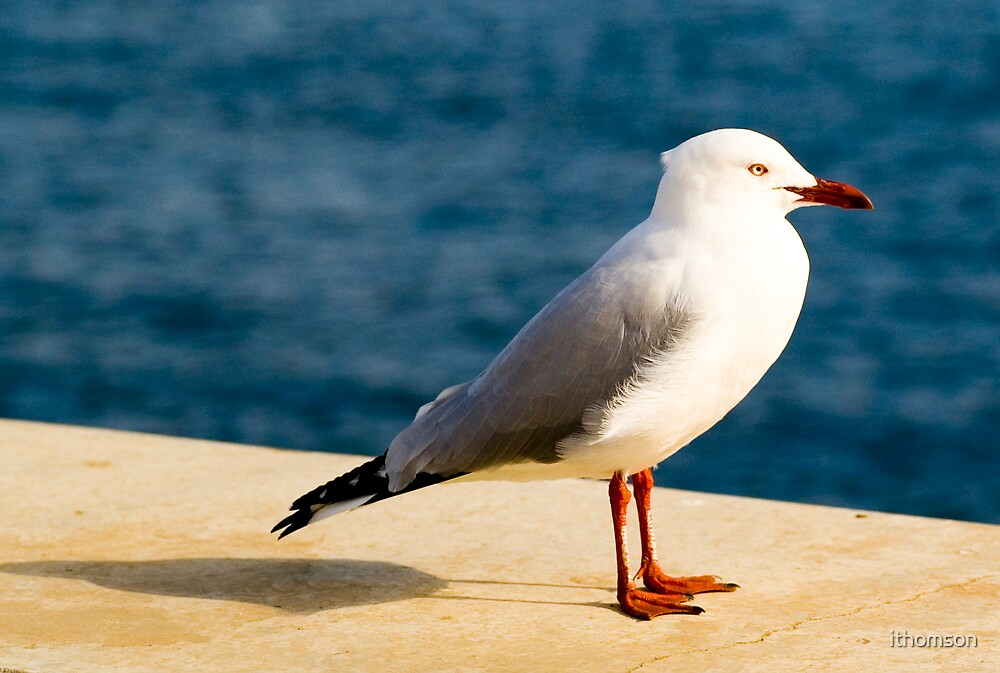 Seagull by ithomson