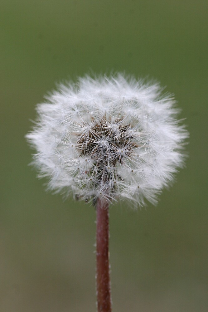 Dandelion by Mikester