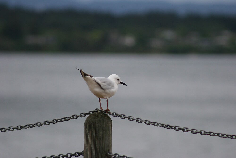 Taupo Gull by Mikester