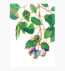Eucalyptus branch with gumnuts - watercolour Photographic Print