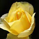 Beautiful Yellow Unfolding Rose by Joy Watson