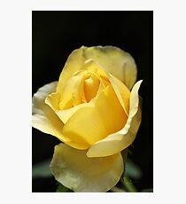 Beautiful Yellow Unfolding Rose Photographic Print