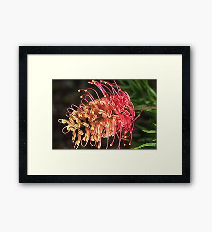 Beautiful Grevillea Australian Framed Print