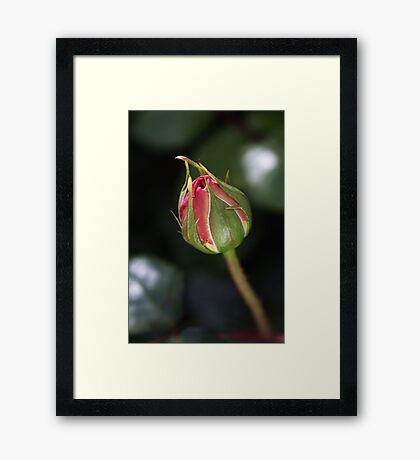 Blushing Bud Of Rose Framed Print