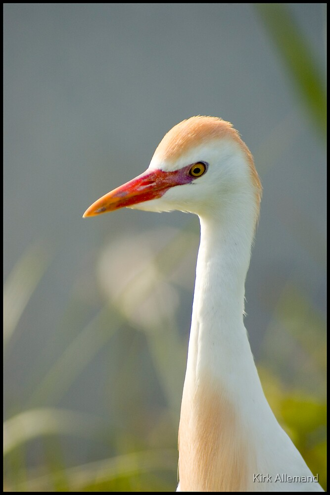 Portrait of a Cattle Egret by Kirk Allemand
