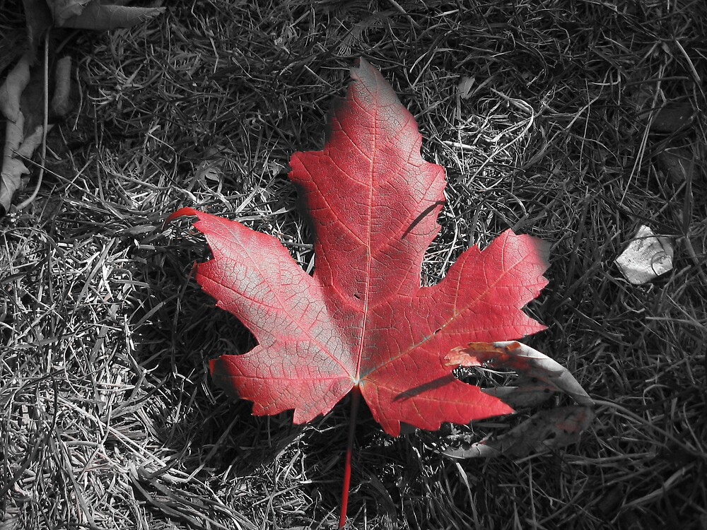 Maple Leaf by choochy6