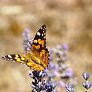 Butterfly Lavender by Coralie Plozza