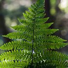 fern, delgaty woods by codaimages