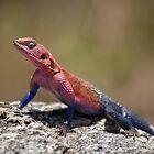 Agama Lizard by Scott Carr