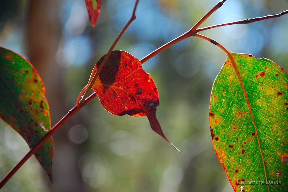 Backlit Gum Leaves, Blue Mountains of NSW by Catherine Davis