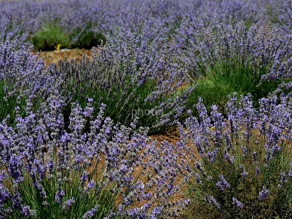 photoj Tas Lavender Farm by photoj