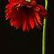 Gerbera Daisy - single flower