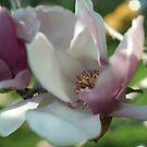 Magnolia by Simon McKenna