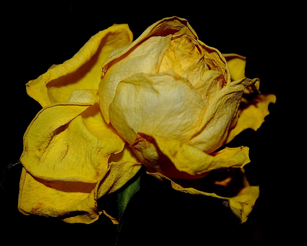 OLD ROSE by kevsphotos2008