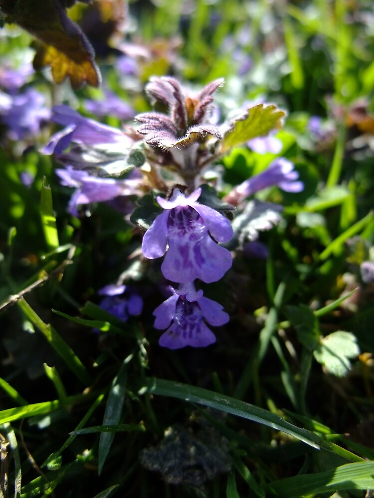 Ground Ivy (Glechoma hederacea) by IOMWildFlowers