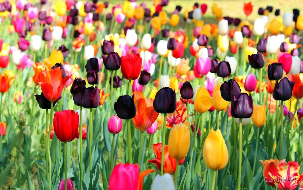 The season of tulips by cynthia48 redbubble for What season are tulips