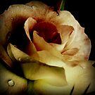 Eine Rose von Evita