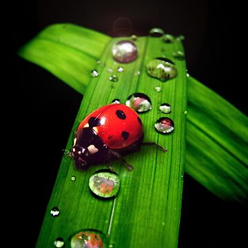 Lady Bug by Cliff