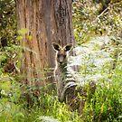 Kangaroo in the bush, the Grampians, Victoria by Elana Bailey
