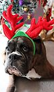 Reindeer This Year?...... Anything For That Cookie! - Boxer Dogs Series by Evita