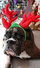 Rentier dieses Jahr? ...... Alles für dieses Plätzchen! - Boxer-Hunde-Reihe von Evita