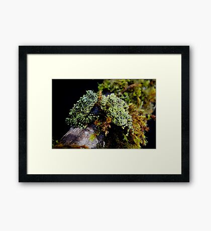 Vietnamese Mossy Tree Frogs (Theloderma corticale) Framed Print